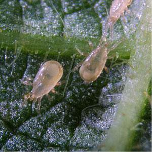 Predatory Mite - Neoseiulus cucumeris