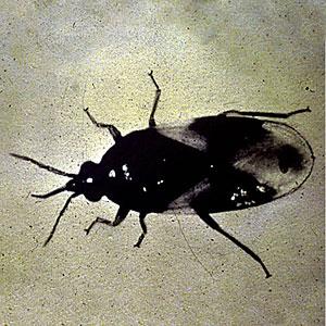 Pirate Bug, Orius insidiosus