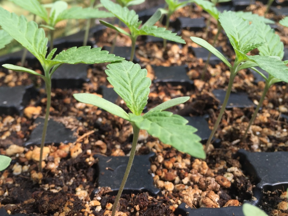 Young Seedlings  (Photo courtesy of Cannabis Horticultural Association)