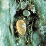 Predator Mite - Neoseiulus fallacis