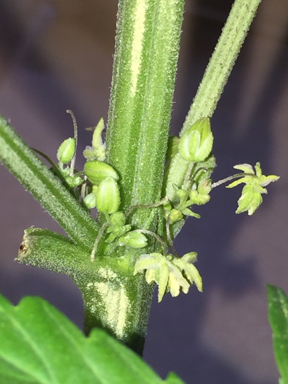 Male Plant  (Photo Courtesy of the Cannabis Horticultural Association)
