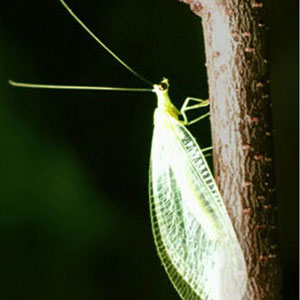 GreenLacewing.jpg