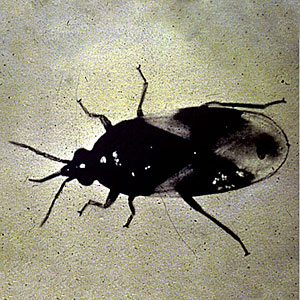 Minute Pirate Bug, Orius insidiosus.jpg