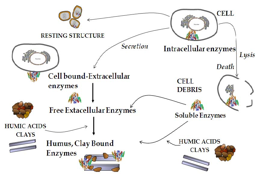 Figure 1: Complexity of enzyme activities in soil. (OMICS, 2014)