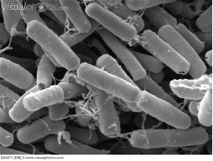 Bacillus thuringiensis.jpg