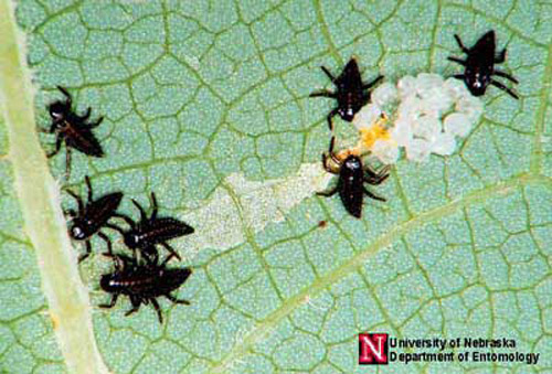 Newly hatched lady beetle larvae. Photograph by Jim Kalisch, University of Nebraska, Lincoln.