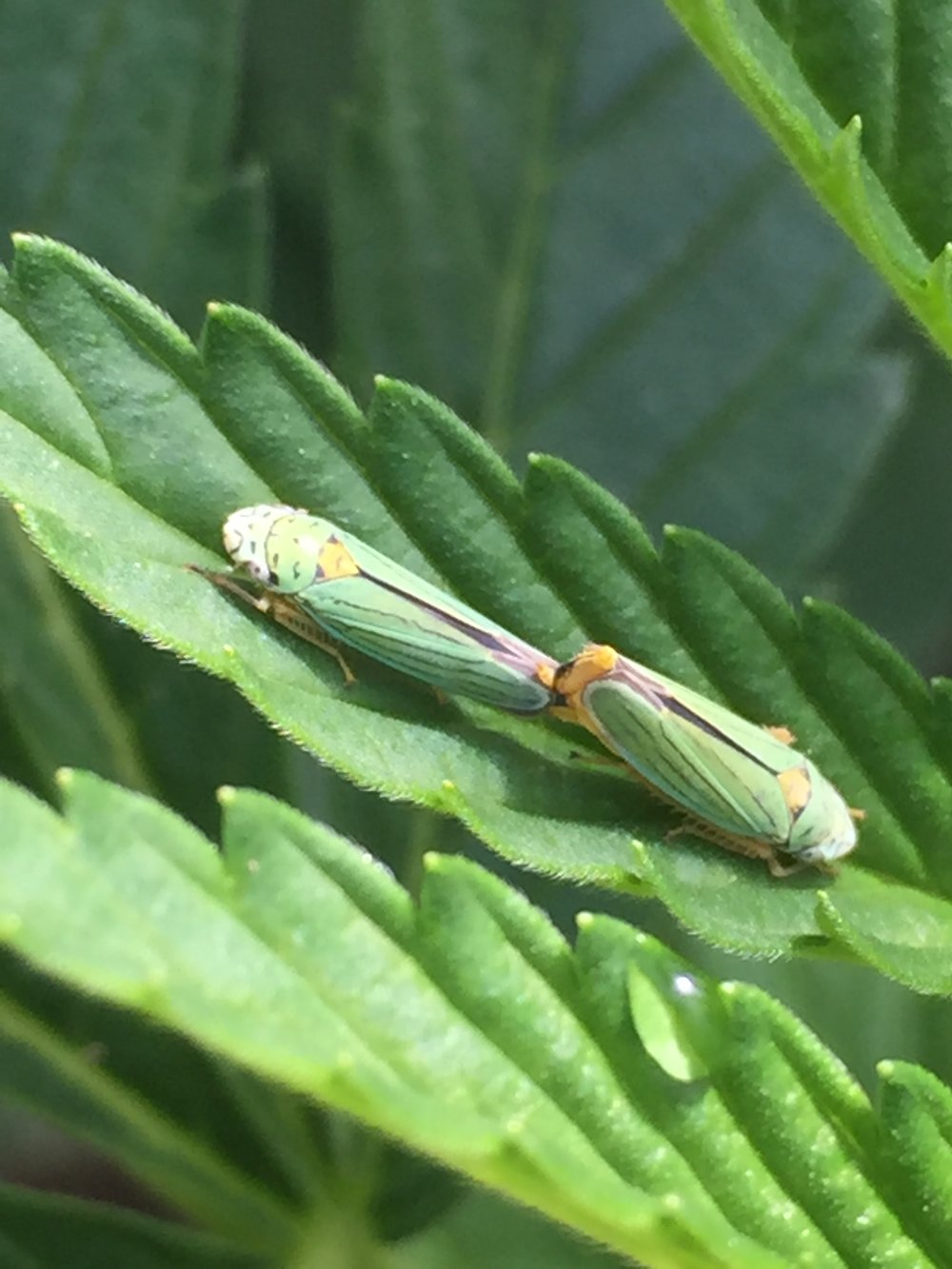 Leafhoppers Mating.jpeg