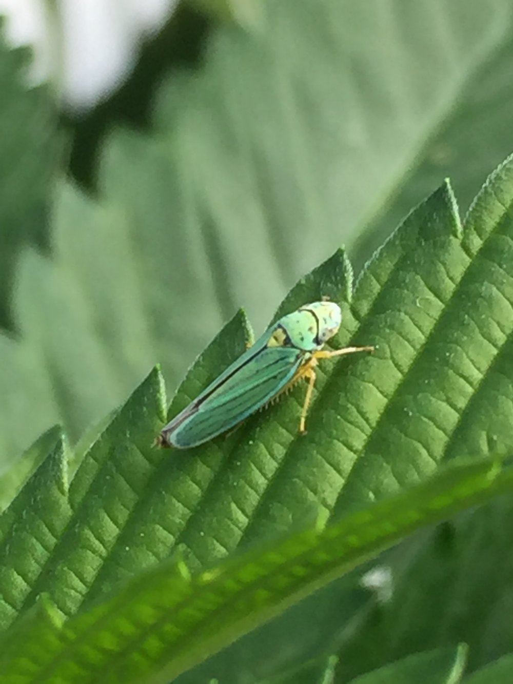 Leafhopper.jpeg