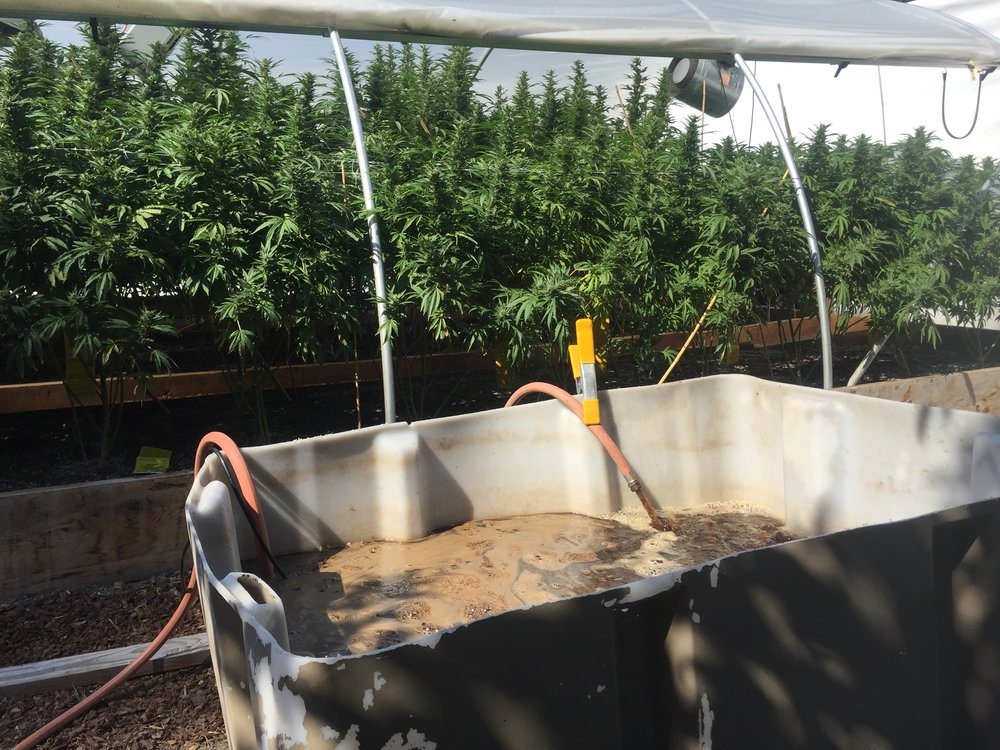 A 100 gallon batch of tea is going to be fed through drip irrigation into this 800 square foot greenhouse.