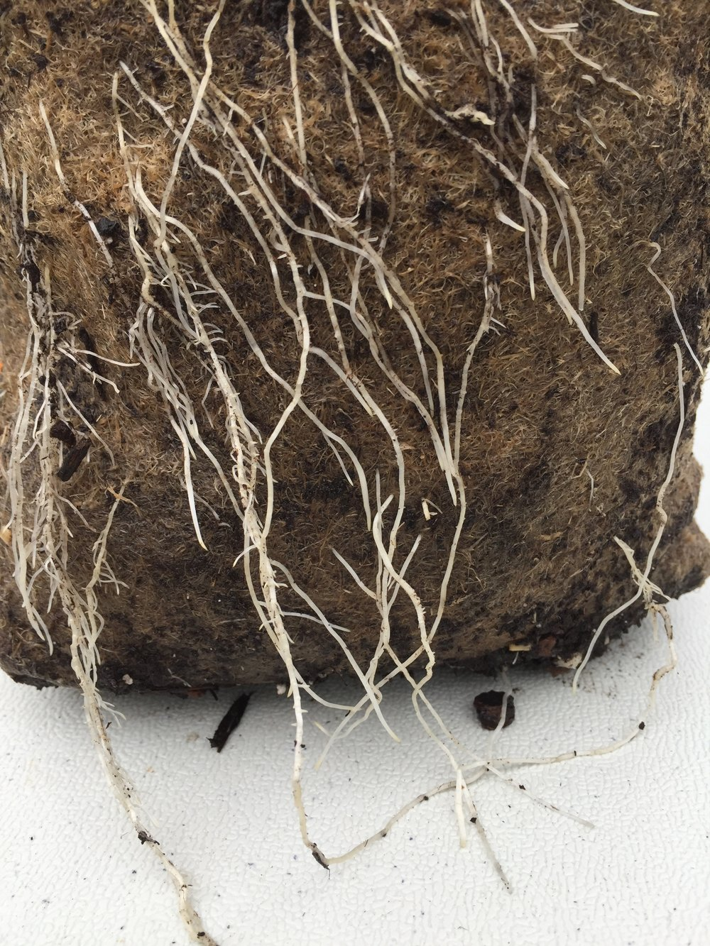 Root growth of 9 days after being transplanted