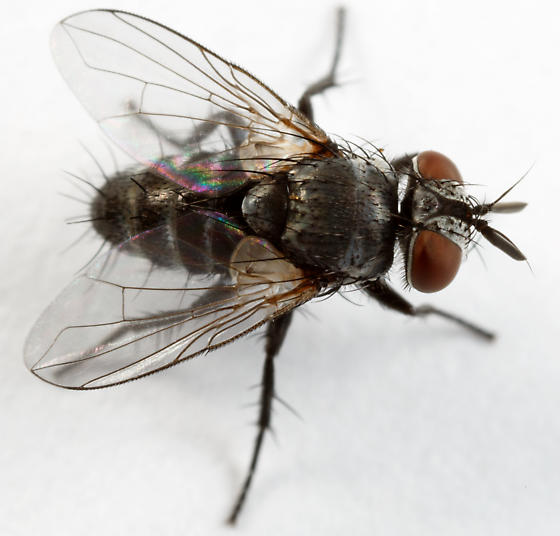 Tachinid Fly Celatoria diabroticae