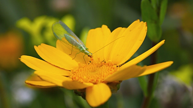 Green Lacewing.jpg