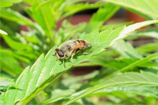 Hover Fly on Cannabis.jpg