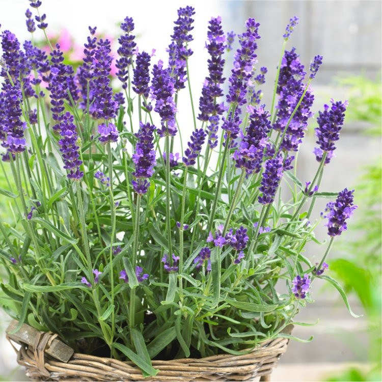 English Lavendar