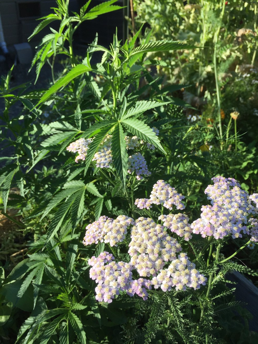 Yarrow intercropped with cannabis. Yarrow attracts a wide array of the different beneficial insects.