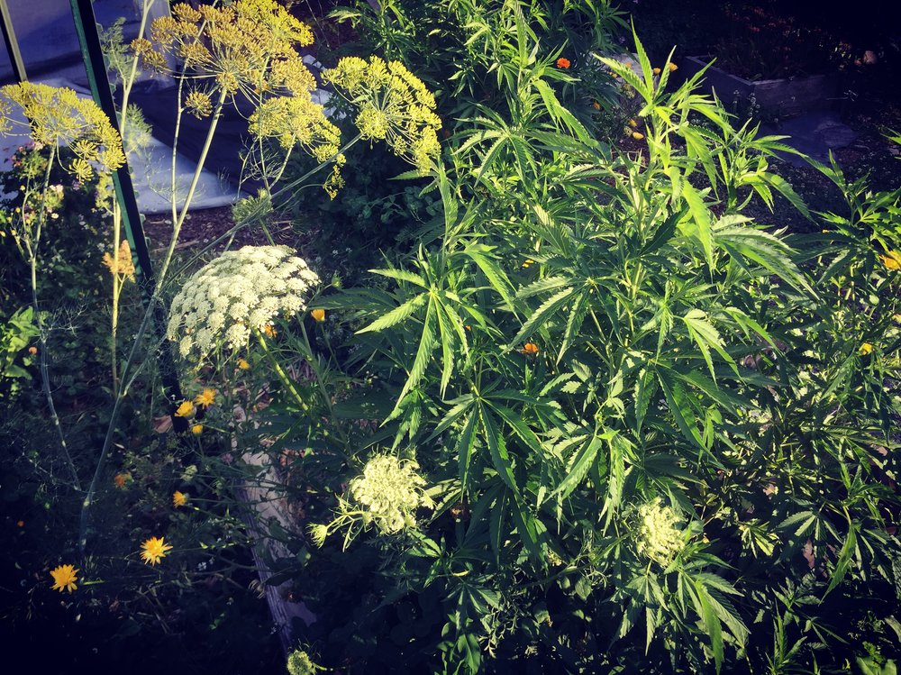 Yarrow, Calendula and Dill Flowering Near Cannabis Photo by: Cannabis Horticultural Association