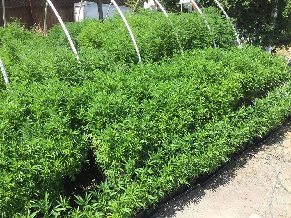 This nursery uses liquid humus to keep the root bound moms healthy by replenishing their organic matter content
