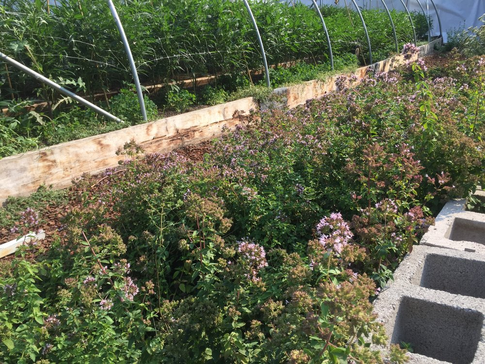 Border of Oregano Planted Nearby a Greenhouse. Photo by: Cannabis Horticultural Association