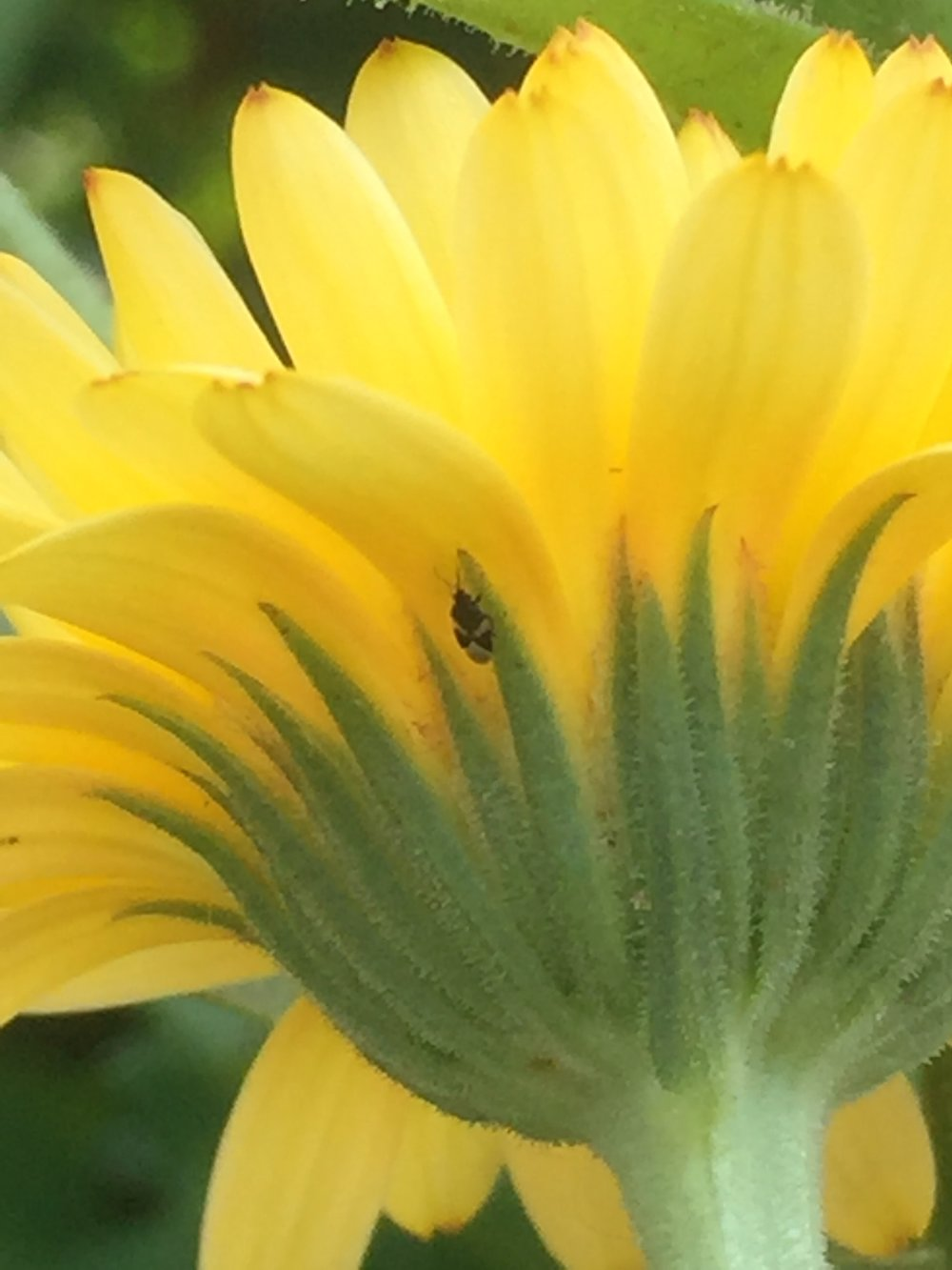 Pirate Bugs (Orius insidious) Love Calendula Flowers Photo by: Cannabis Horticultural Association