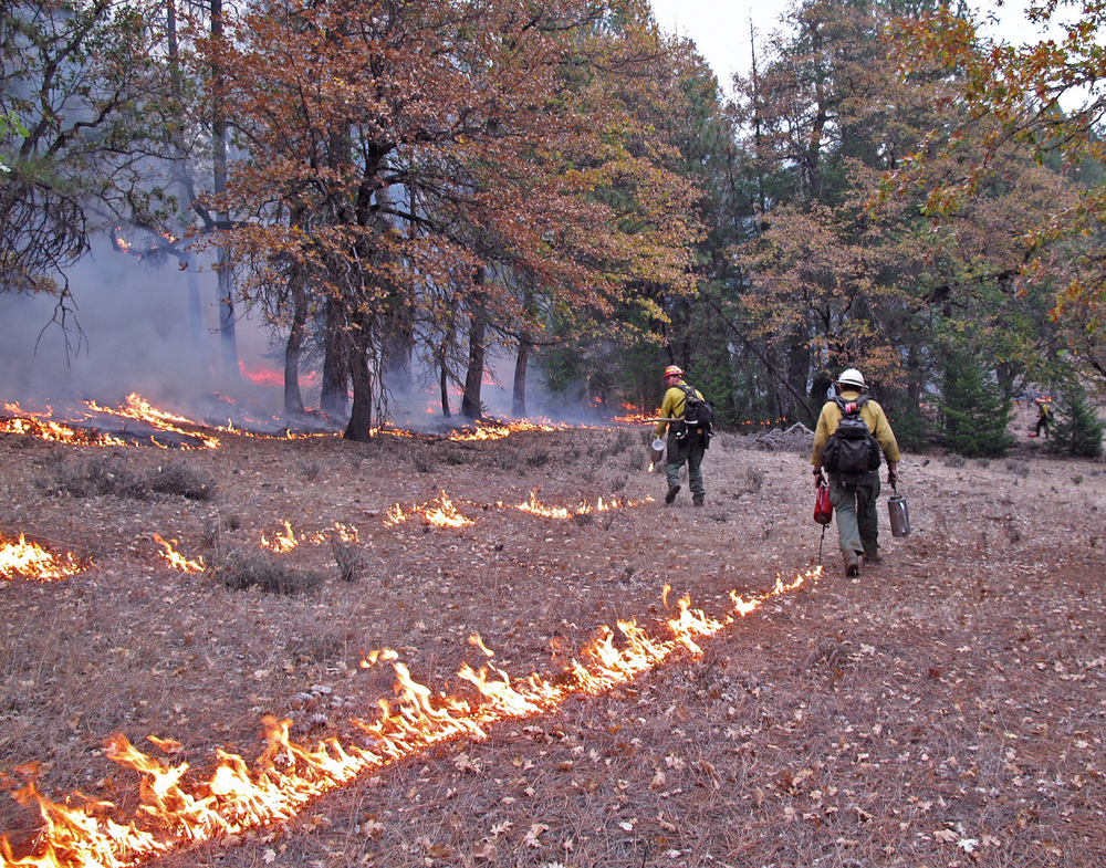 Crews use drip torches to ignite a prescribed burn in white oak woodlands in Trinity County last fall. (Photo by Lenya Quinn-Davidson)