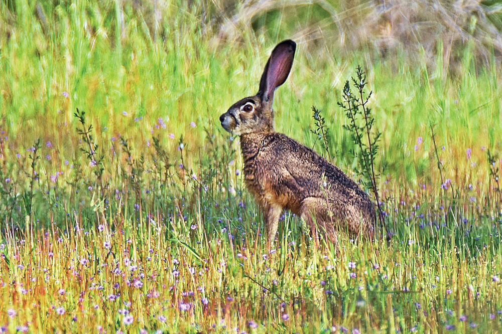A JACKRABBIT hops through grass in Piercy. (Talia Rose)