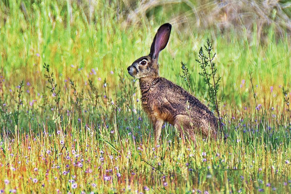 A JACKRABBIT hops through grass in Piercy. (Talia Rose)