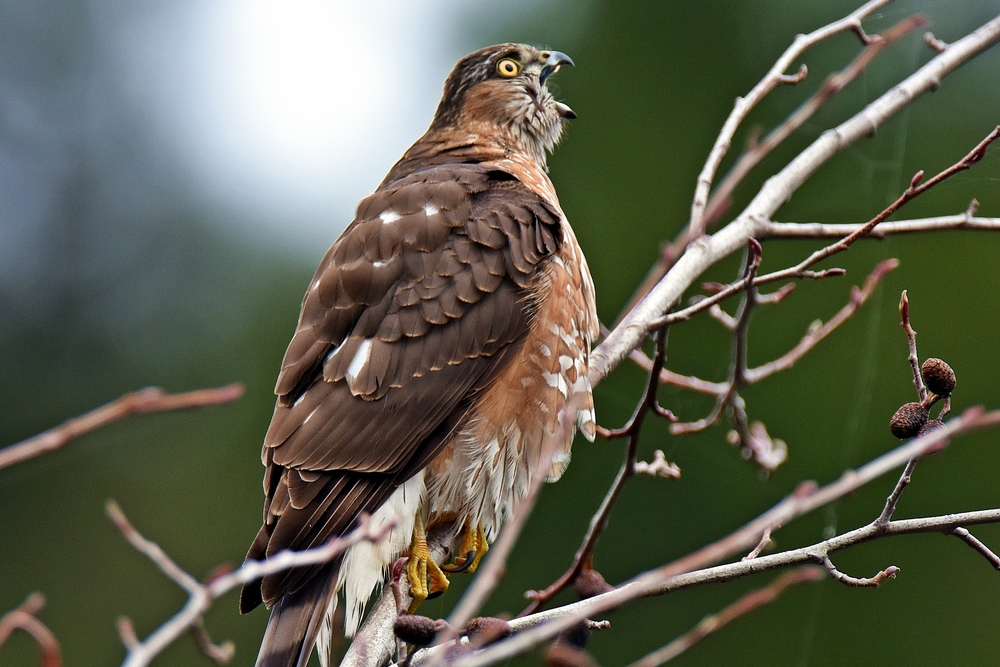 A JUVENILE SHARP-SHINNED HAWK calls out in Piercy. (Talia Rose)