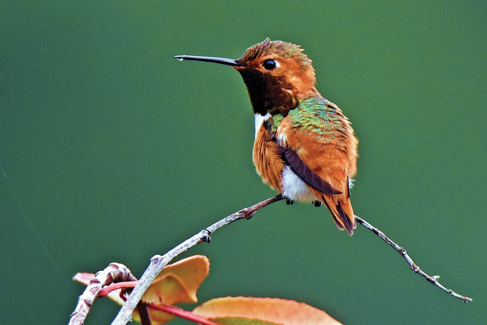 A RUFOUS HUMMINGBIRD perches on a branch in Piercy. (Talia Rose)