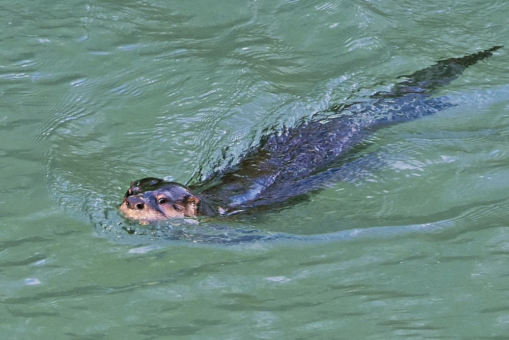 AN OTTER swims in the South Fork Eel River in Piercy. (Talia Rose)