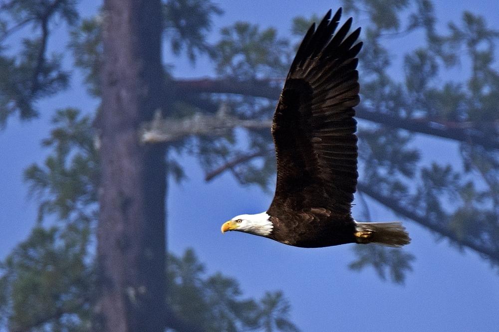 A BALD EAGLE flies in Piercy. (Talia Rose)