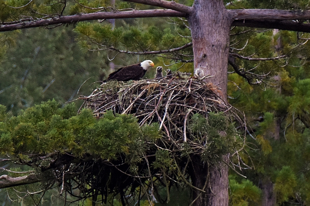 A BALD EAGLE is shown with two month-old eaglets in Benbow. (Talia Rose)