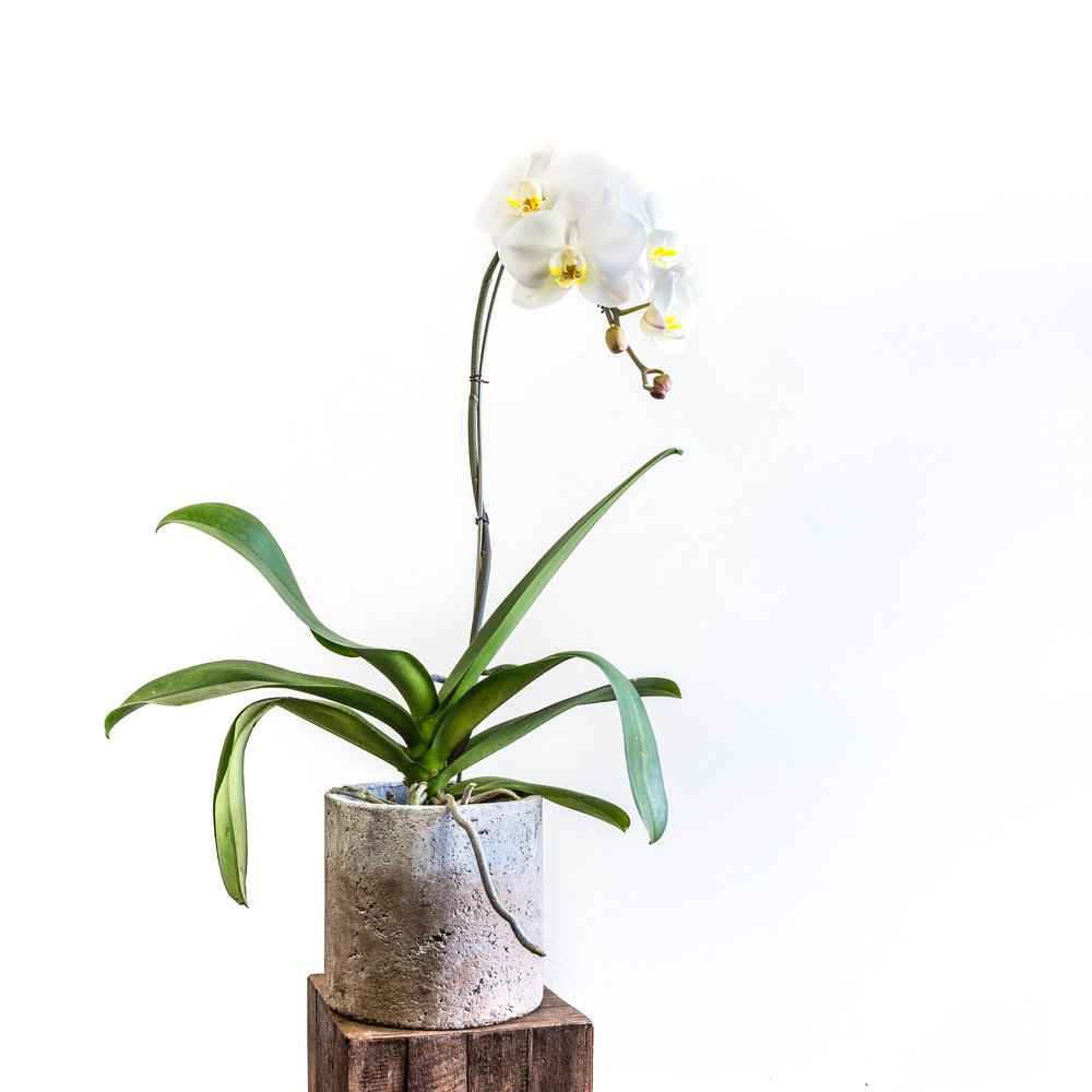 Plant - Orchid.jpg