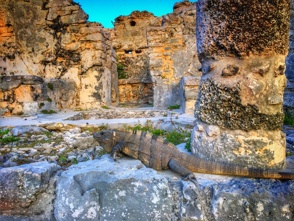 The ruins at Tulum are crawling with iguanas. This was a big one.