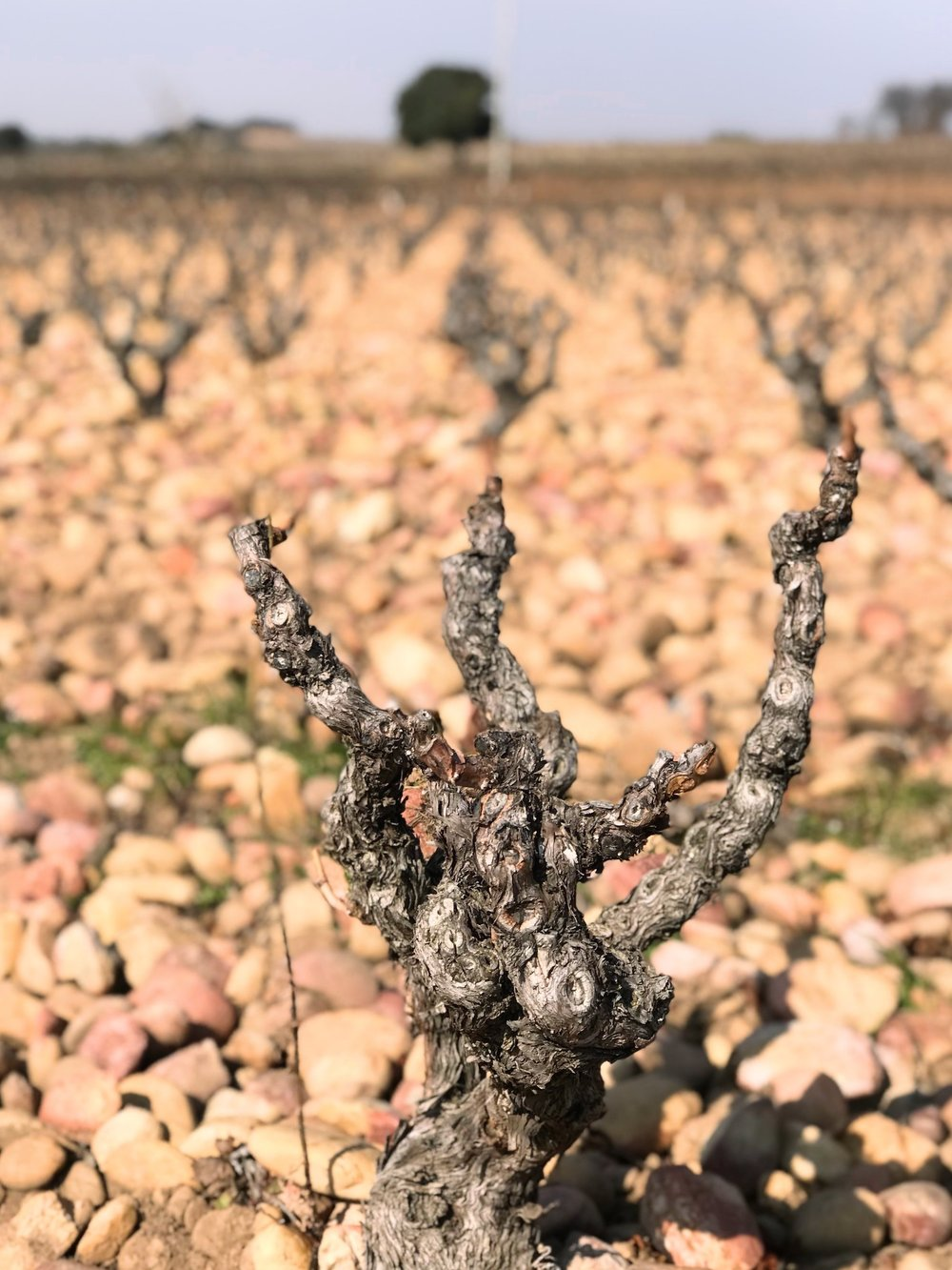 This old Grenache vine surrounded by tan colored rocks means this must be Châteauneuf-du-Pape.