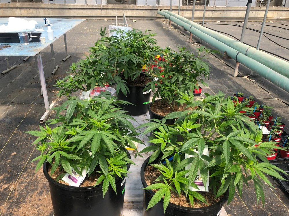 Hemp plants at Hardy Boy Farms greenhouse