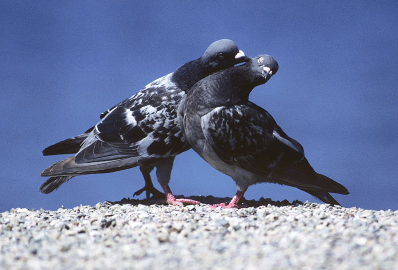 pigeon_love_lo.jpg