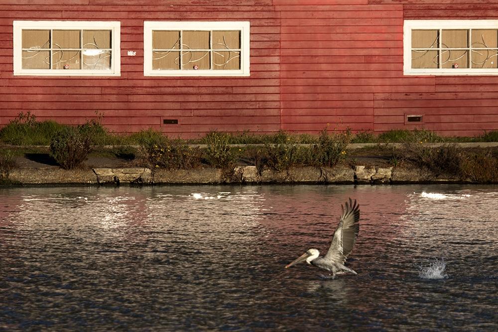 aq_prk_pelican1_cc.jpg