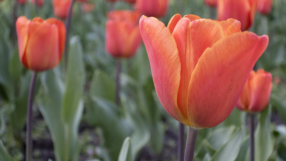 tulips_london_lo.jpg