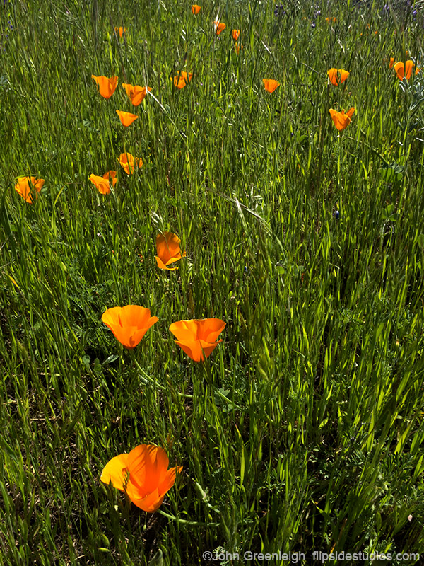 poppies_vertical_lo.jpg