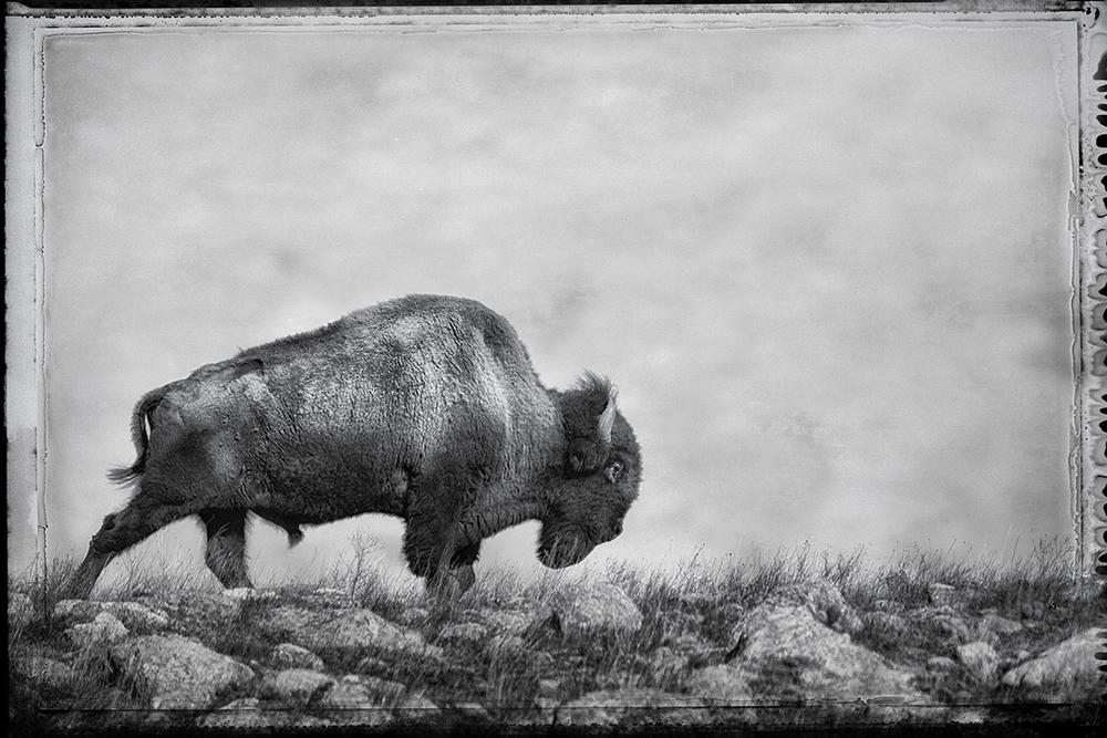 WR Bison