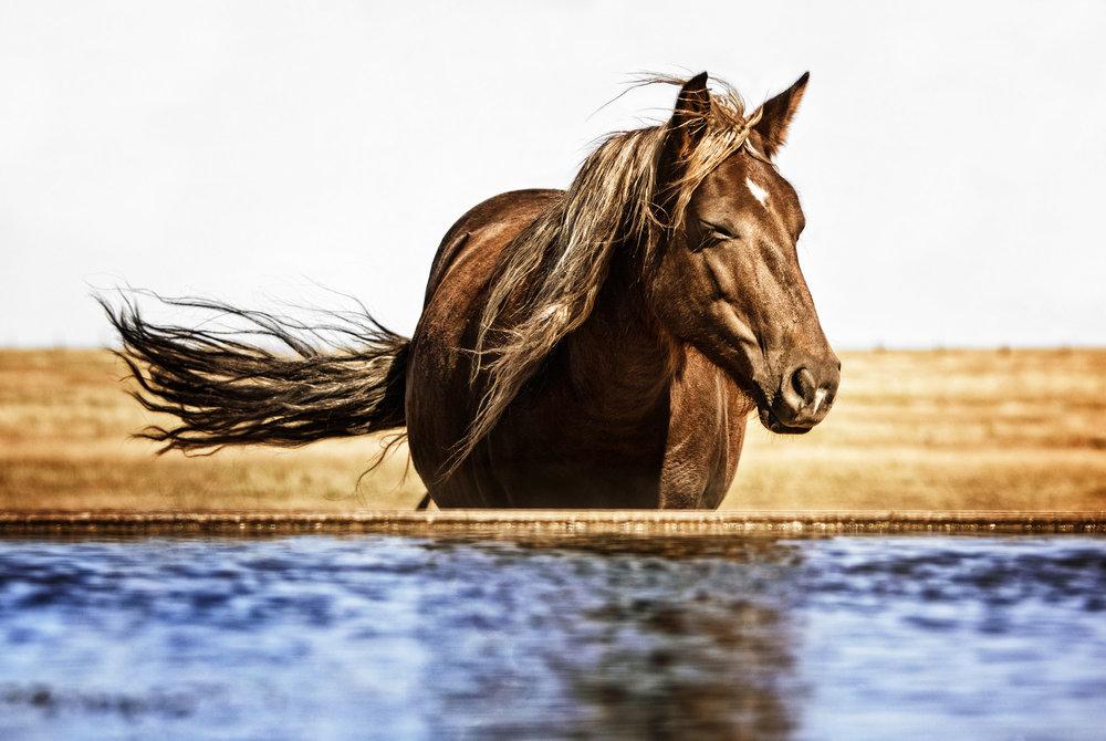 American Horse