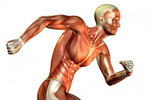 Muscle-fibers-631x421