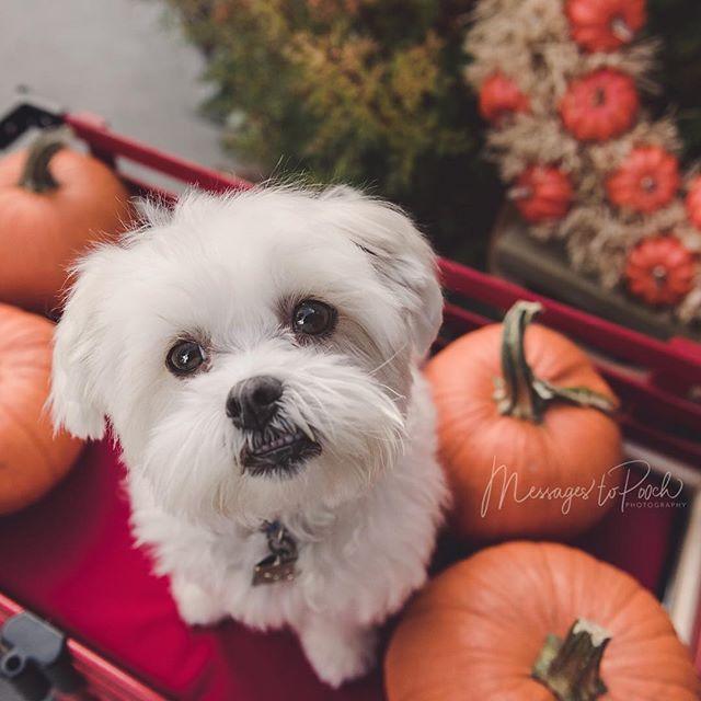 Happy pumpkin spice season.... . . . #yycphotographer #petphotography #dogphotography #yycpetphotographer #yycpets #yycdogslife #dogportraits #yycliving #yycfall #pumpkins #maltese #shihtzu #shihtzulovers