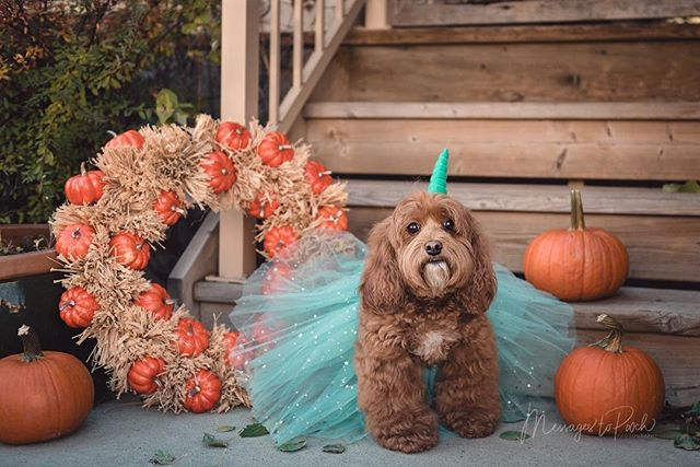 Be a unicorn in a field of horses... . . . #yycphotographer #petphotography #dogphotography #yycpetphotographer #yycpets #yycdogslife #dogportraits #yycliving #yycfall #pumpkins #yychalloween #dogcostume #cockapoo #unicorns #doglovers