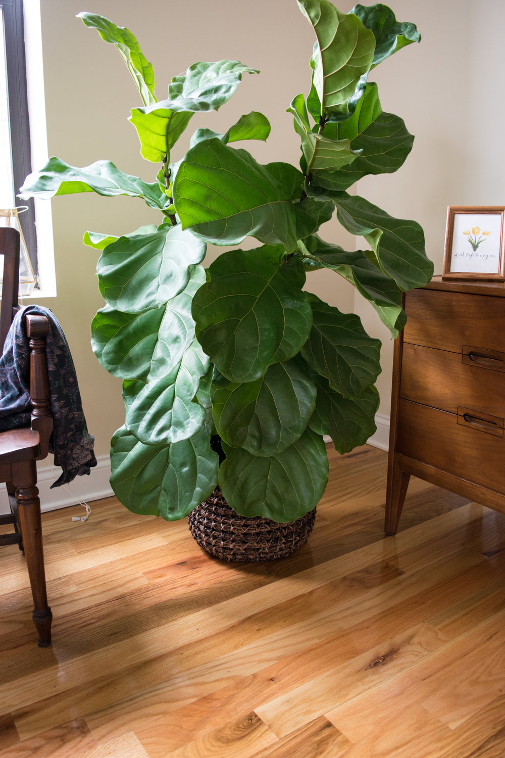 Plant-FIddle-Leaf-Fig-Tree