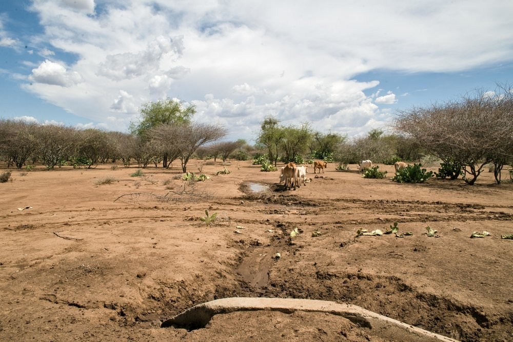 drought-cows