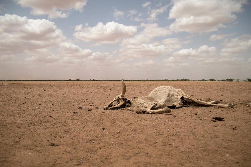 dead-cattle