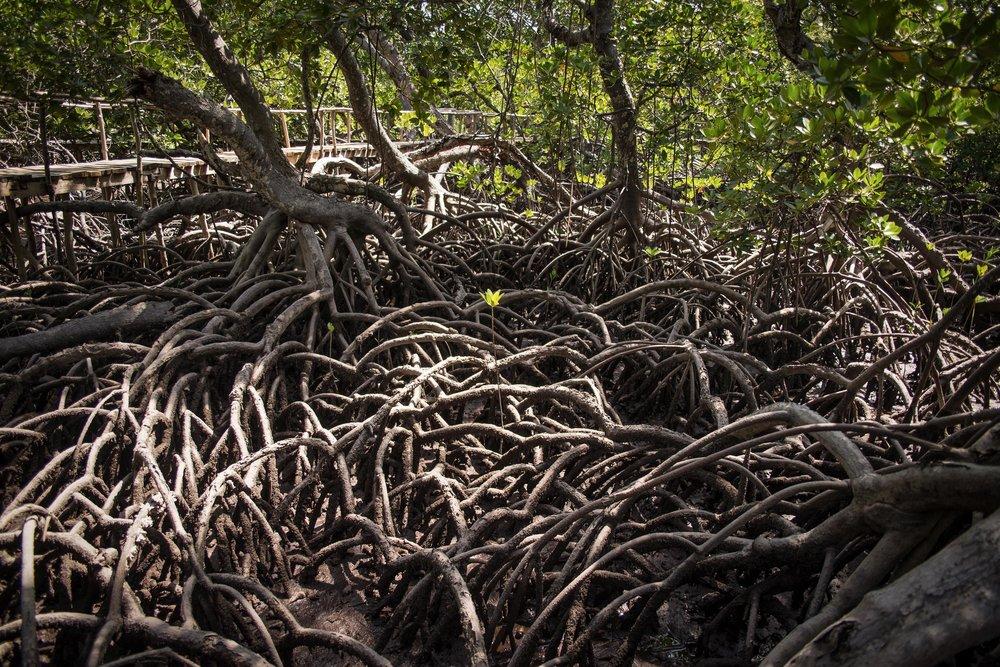 A flower blooms in a tangle of mangroves in Watamu, Kenya.