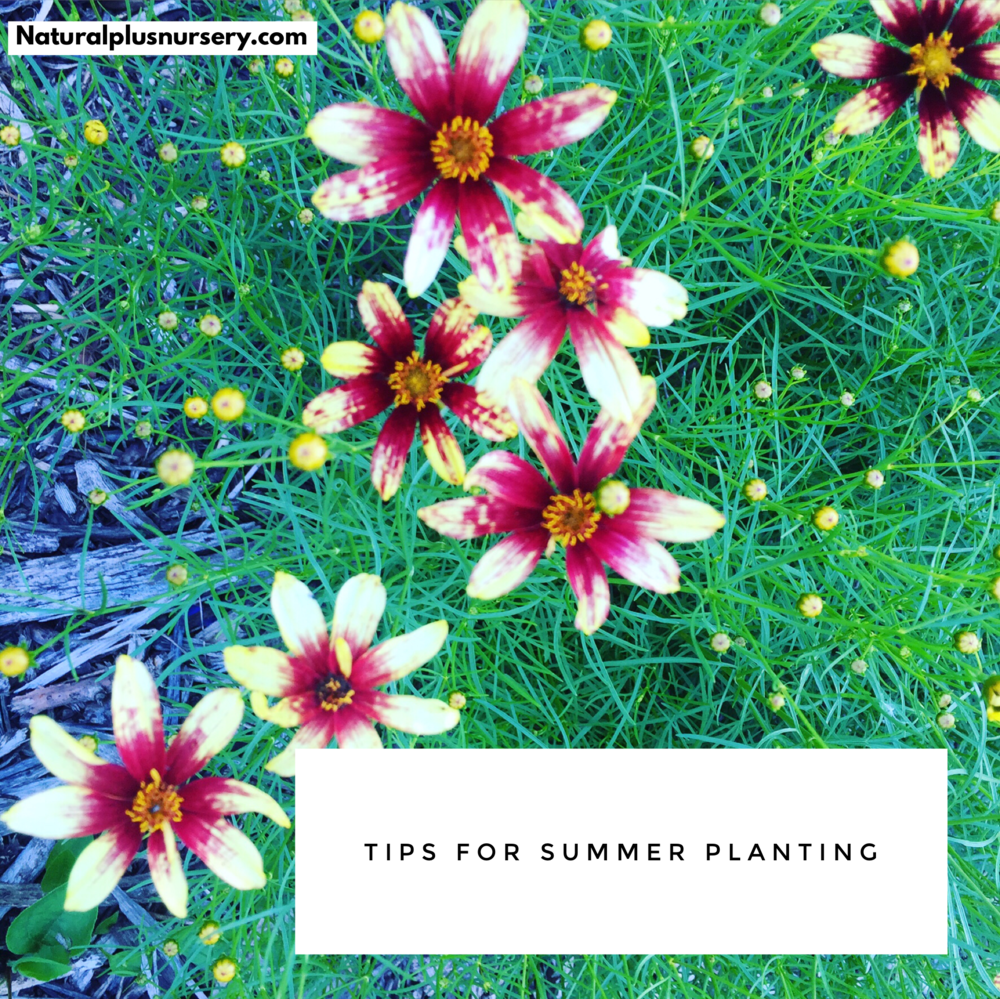TIPS FOR SUMMER PLANTING
