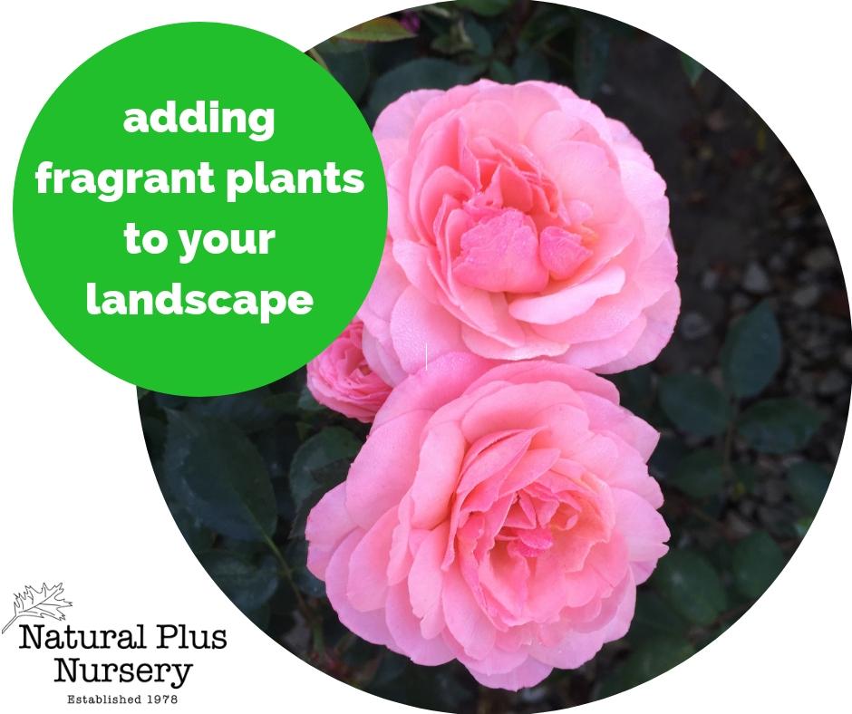 frangrant plants.jpg